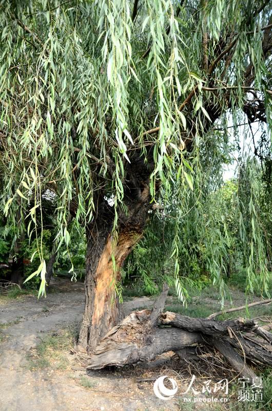 当初犹如手指粗的树苗现如今都长成了大树