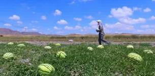 中卫市设立12个硒砂瓜专销区