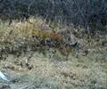 六盘山拍摄到野生金钱豹 拍摄到5段清晰活动视频