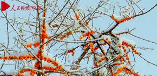 宁夏海原雪中沙棘林