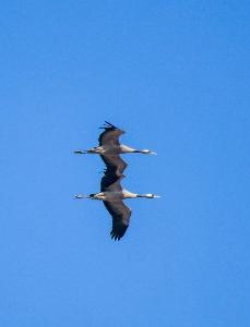 宁夏石嘴山平罗出现大批国家二级保护鸟类灰鹤