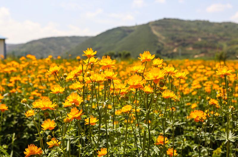 一朵朵金银花竞相开放。丁炜勇摄
