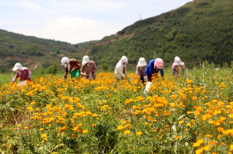 村民正在采摘金银花。丁炜勇摄